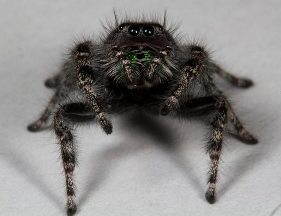 What a large number of eyes you have! The jumping spider Phidippus audex, like most spiders, sports 8 eyes.