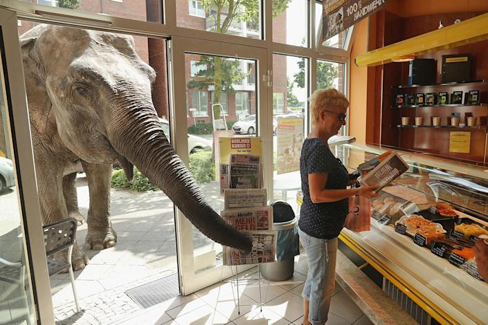 <p>Maja, a 40-year-old elephant, extends her trunk into a bakery as a customer buys a newspaper while Maja took a stroll through the neighborhood with her minders from a nearby circus on July 1, 2016 in Berlin, Germany. (Sean Gallup/Getty Images) </p>