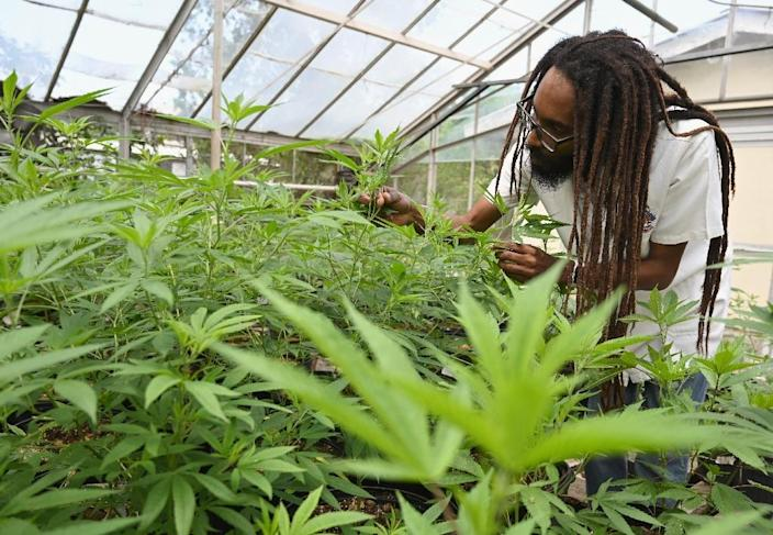 Dr Machel Emanuel inspects cannabis plant in a greenhouse at the University of the West Indies (AFP Photo/Angela Weiss)
