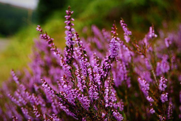 """<p>Well-mannered and oh-so-stunning, <a href=""""https://www.gardeningknowhow.com/ornamental/flowers/heather/growing-heather.htm"""" rel=""""nofollow noopener"""" target=""""_blank"""" data-ylk=""""slk:heathers"""" class=""""link rapid-noclick-resp"""">heathers</a> add large swaths of color to any flower bed. During the wintertime, the evergreen shrubs add a beautiful mix of bronze, green, and red hues to your garden. </p><p><strong>When it blooms: </strong>Late summer through fall</p><p><strong>Where to plant:</strong> Full sun</p><p><strong>When to plant: </strong>Fall or early spring</p><p><strong>USDA Hardiness Zones:</strong> 5 to 7</p>"""