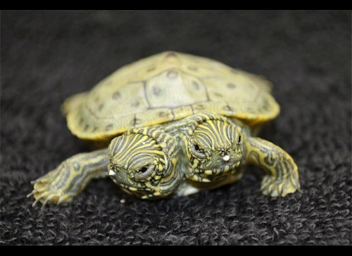 A two-headed turtle has hatched at the San Antonio Zoo and officials have named her Thelma and Louise.