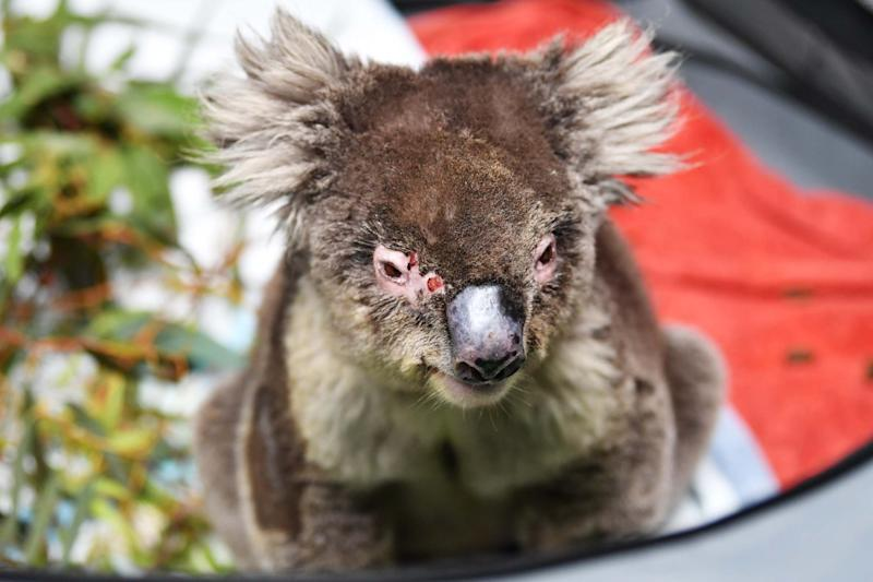 Female koala Shirley recovering in her pen at Adelaide Koala Rescue: Getty Images
