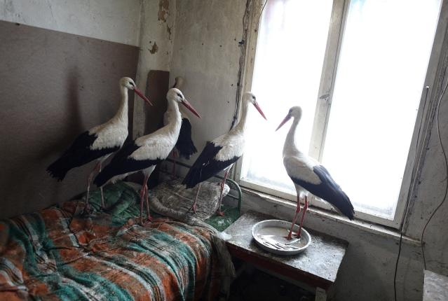 Storks that were saved by Bulgarian farmer Safet Ismail are pictured in the village of Zaritsa, Bulgaria, March 21, 2018. Dozens of people from villages in north-eastern Bulgaria took storks to their houses as a lot of the birds got injured due to freezing temperatures and snowfalls in the area over the last few days. REUTERS/Stoyan Nenov TPX IMAGES OF THE DAY