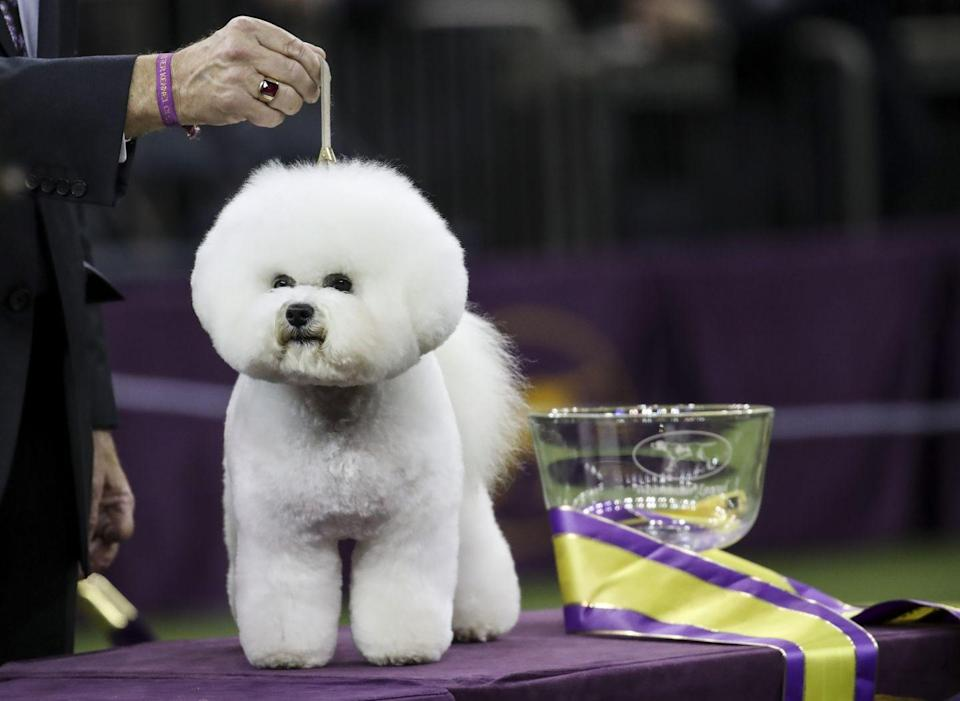 <p>Flynn, a little bichon frisé who reigned supreme in 2018, has a face everyone can love.</p>