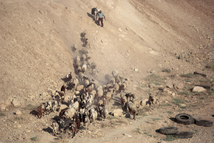 A Palestinian shepherd herds his flock next to the West Bank village of Al Fasayil, in the Jordan Valley, Tuesday, June 30, 2020. Israeli Prime Minister Benjamin Netanyahu appears determined to carry out his pledge to begin annexing parts of the occupied West Bank, possibly as soon as Wednesday. (AP Photo/Oded Balilty)