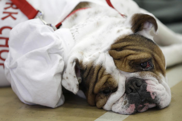 Pork Chop, owned by Melissa Deneen, of Cambridge, Minn., looks on during the 33rd annual Drake Relays Beautiful Bulldog Contest Monday, April 23, 2012, in Des Moines, Iowa. The pageant kicks off the Drake Relays festivities at Drake University where a bulldog is the mascot. (AP Photo/Charlie Neibergall)