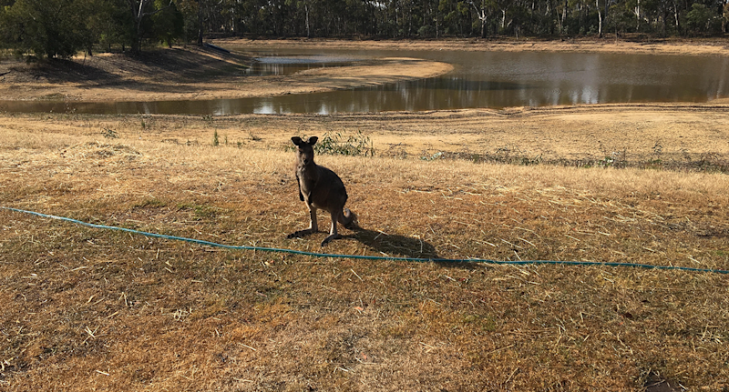A small kangaroo in a bare paddock with a dam behind it.