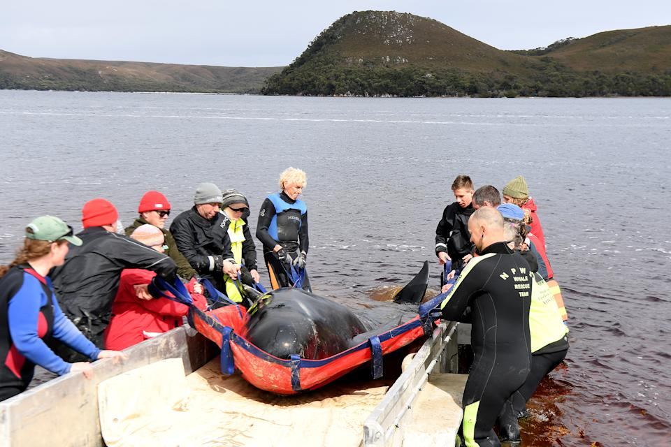 Rescue teams work to save a Pilot Whale at Macquarie Harbour on September 24, 2020 in Strahan, Australia. (Photo by Steve Bell/Getty Images)