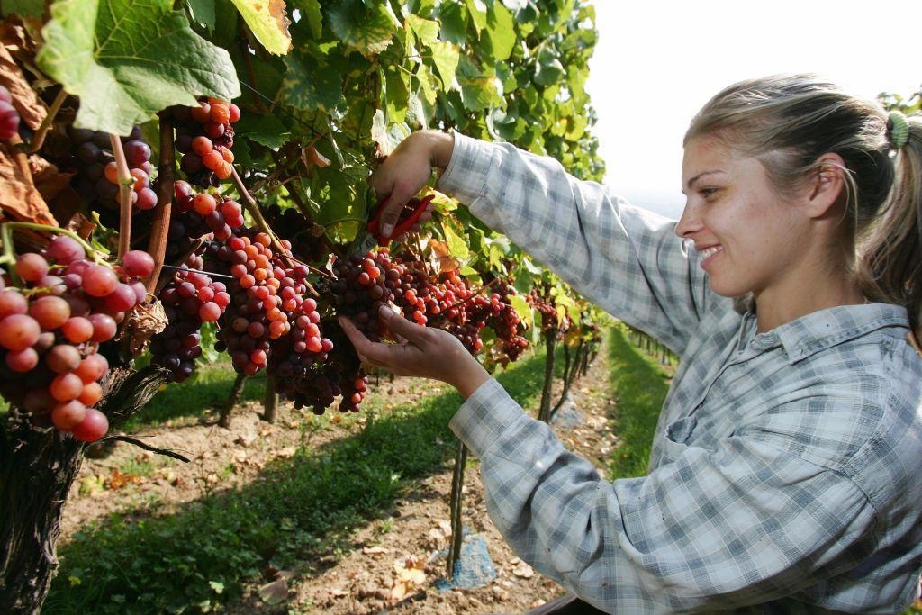 <b>BINGEN, GERMANY </b><br>Field worker Anna uses a knife to pick gewuerztramine grapes during a harvest in a vineyard at Rochus mountain in Bingen at Rhine, Germany. Bingen am Rhein is a town at the confluence of the Rhein and Nahe rivers.