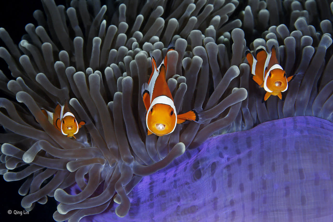 <p>The bulbous tips of the aptly named magnificent anemone's tentacles contain cells that sting most fish. But the clown anemonefish goes unharmed thanks to mucus secreted over its skin, which tricks the anemone into thinking it is brushing against itself. (Qing Lin / Wildlife Photographer of the Year) </p>