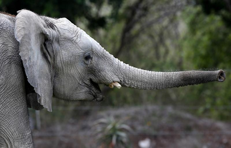 In this photo taken Friday, June 8, 2012, a young African elephant extends its trunk while roaming in its new habitat at the Africam Safari wildlife preserve, near Puebla, Mexico. The elephant is one of a group of nine from Namibia needed a new home and the owner of a 900-acre wildlife preserve in central Mexico jumped at the chance to buy them and add them to his menagerie that includes ostriches, lemurs, giraffes, zebras and monkeys. (AP Photo/Andres Leighton)