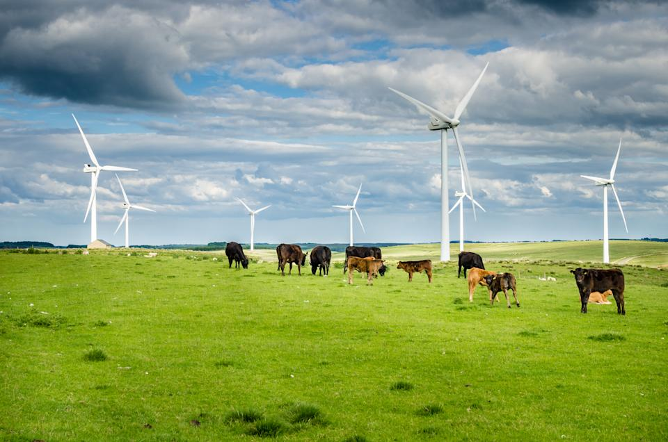 Cows in a Pasture with a Wind Farm in Background on an overcast spring day