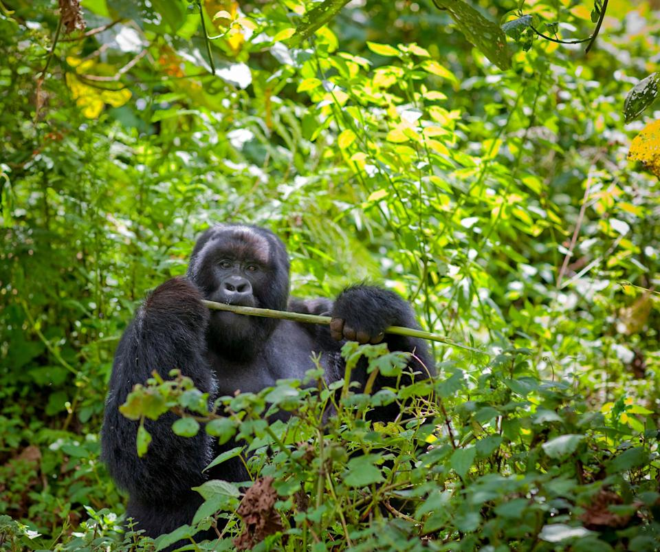 "<strong>Rwanda</strong><br><br>The central African nation is recognised for its stellar conservation programme bringing the wild mountain gorilla population back from the brink of extinction. <span class=""copyright"">Photo: Eric Lafforgue / Lonely Planet</span>"