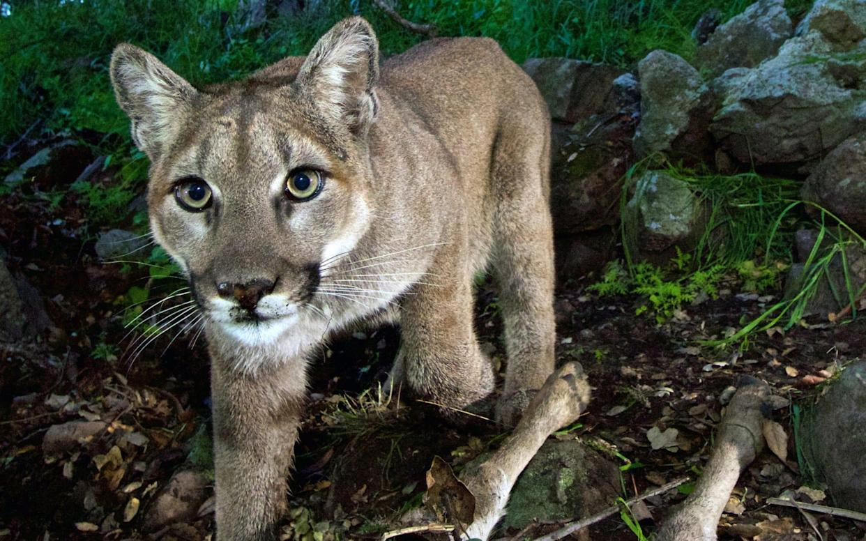 Fatal cougar attacks are rare in the US - National Park Service