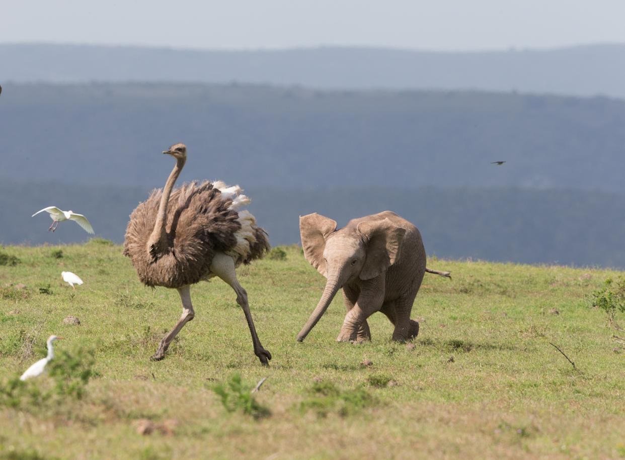 *** EXCLUSIVE *** ADDO ELEPHANT NATIONAL PARK SOUTH AFRICA - JUNE: A baby elephant chases an ostrich in June 2014, in Addo Elephant National Park, South Africa.A cute elephant calf chases an Ostrich in the Oddo Elephant National Park in South Africa. The herd of elephants were grazing when the youngster noticed the ostrich nearby and gave chase.PHOTOGRAPH BY Greatstock / Barcroft MediaUK Office, London.T +44 845 370 2233W www.barcroftmedia.comUSA Office, New York City.T +1 212 796 2458W www.barcroftusa.comIndian Office, Delhi.T +91 11 4053 2429W www.barcroftindia.com