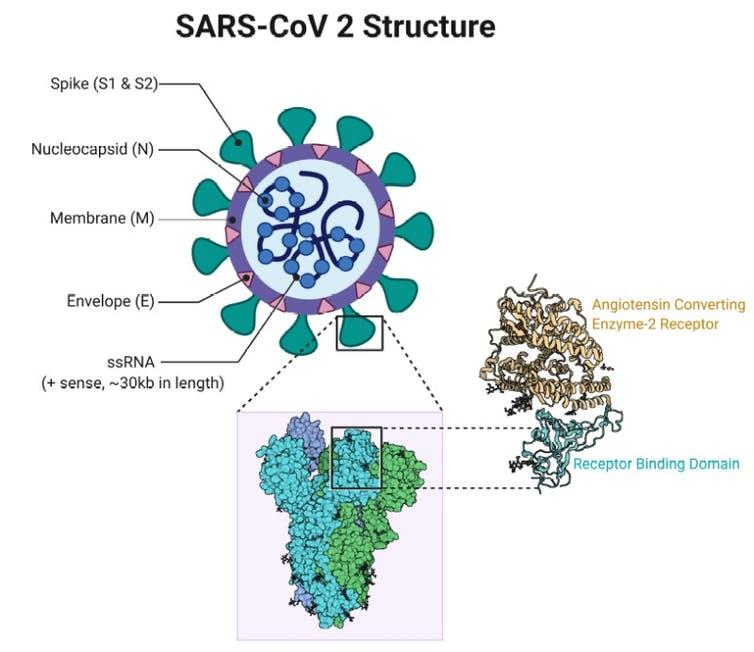 SARS-CoV-2 Structure illustration showing the molecular architecture of the Spike S protein and the ACE2-Spike S protein complex