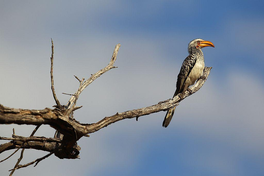 A yellow-billed hornbill on a branch in Edeni Game Reserve, South Africa. Edeni is a 21,000-acre wilderness area with an abundance of game and birdlife near Kruger National Park in South Africa.