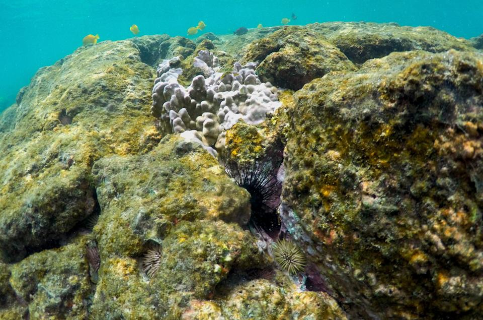 In this Sept. 12, 2019 photo, sea urchins and fish are seen near bleaching coral in Kahala'u Bay in Kailua-Kona, Hawaii. Just four years after a major marine heat wave killed nearly half of this coastline's coral, federal researchers are predicting another round of hot water will cause some of the worst coral bleaching the region has ever seen. (AP Photo/Caleb Jones)