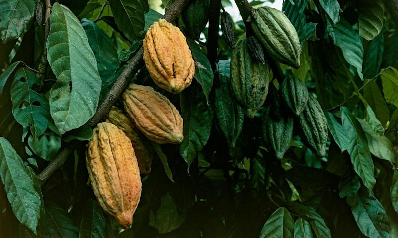 Cacao tree fruits, Togo.