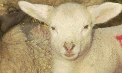Incurable Virus Killing Thousands Of Lambs