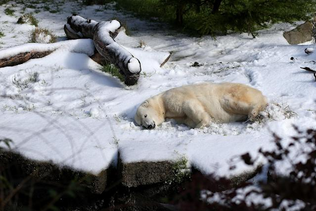 SAN FRANCISCO, CA - NOVEMBER 15: Pike, a 30 year old Polar Bear rolls in man made snow at the San Francisco Zoo on November 15, 2012 in San Francisco, California. Two San Francisco Zoo Polar Bears, Pike (30) and Ulu (32)celebrated their birthdays with 10 tons of man made snow and special treats. (Photo by Justin Sullivan/Getty Images)