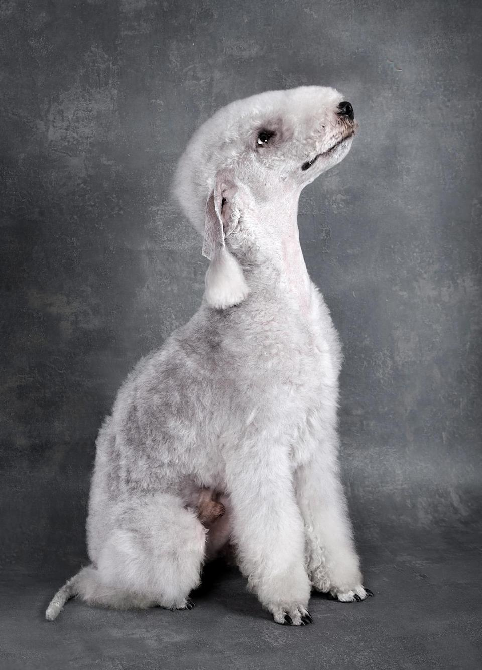 """<p>The <a href=""""https://www.dailypaws.com/dogs-puppies/dog-breeds/bedlington-terrier"""" rel=""""nofollow noopener"""" target=""""_blank"""" data-ylk=""""slk:Bedlington Terrier"""" class=""""link rapid-noclick-resp"""">Bedlington Terrier</a> was originally bred in England for hunting and is one of the larger terriers of the group. Hunting traits aside, this breed is often compared to a lamb for its striking resemblance to one.</p>"""