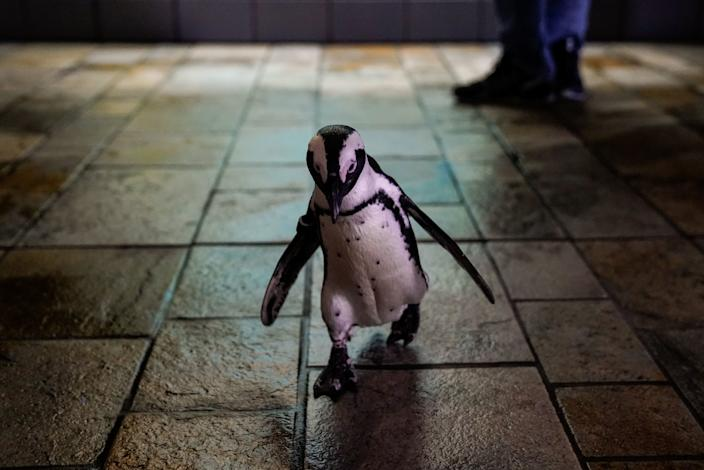 """A penguin named Rey takes a stroll outside her enclosure at the Monterey Bay Aquarium. <span class=""""copyright"""">(Kent Nishimura / Los Angeles Times)</span>"""