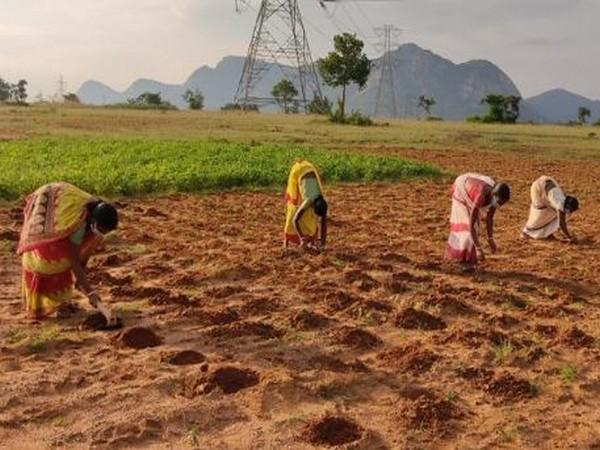Women farmers transplanting tomato at Baghmundi in Purulia district, a Pradan site in West Bengal.