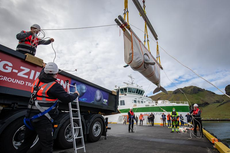 The Sea Life Trust team move Beluga Whale Little Grey from a lorry to a tugboat during transfer to the bayside care pool for acclimatisation to the natural environment of their new home at the open water sanctuary in Klettsvik Bay in Iceland. The two Beluga whales, named Little Grey and Little White, are being moved to the world's first open-water whale sanctuary after travelling from an aquarium in China 6,000 miles away in June 2019.