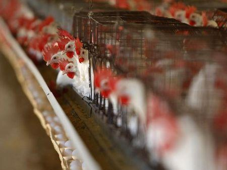 Cage free hens are kept in cages at an egg farm in San Diego County in this picture taken July 29, 2008.  REUTERS/Mike Blake