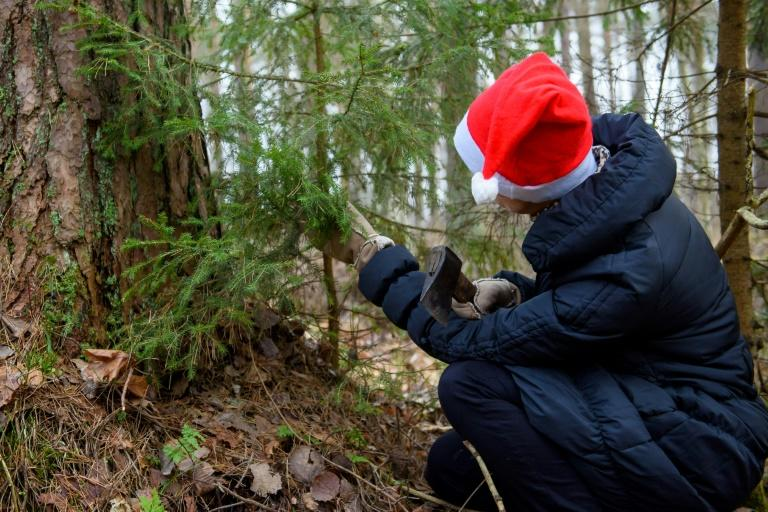 In a tradition dating back a quarter of a century, Latvians are encouraged to pick firs located beneath power lines, in ditches, too close to rural roads or in other places that will require them to be felled anyway
