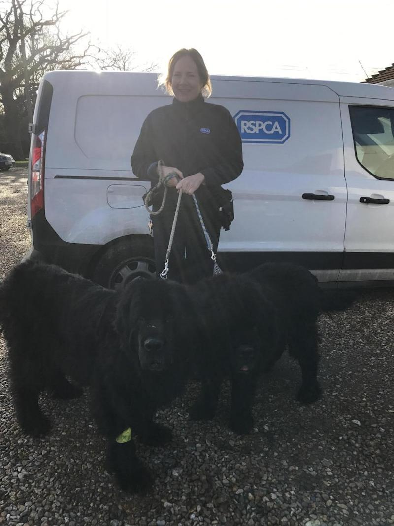 Inspector Hannah Nixon with two of the rescued Newfoundlands (RSPCA)