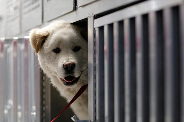 <p>Walter peers out from his open kennel on Pittsburgh Aviation Animal Rescue Team's Disaster Relief and Transport Trailer, after his rescue from a South Korean dog meat farm by Humane Society International (HSI) on Sunday, March 26, 2017, in New York. HSI reached an agreement with the farmers to permanently close the farm and fly all the dogs to the United States for adoption. This is the seventh dog meat farm the organization has closed in South Korea so far, saving more than 800 dogs as part of its campaign across Asia to end the killing of dogs for consumption. (Andrew Kelly/AP Images for Humane Society International) </p>