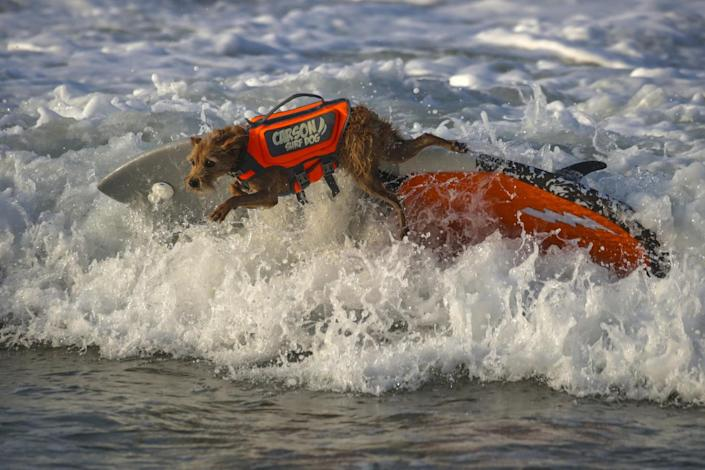 Carson, a 7-year-old mixed terrier, makes a practice run.