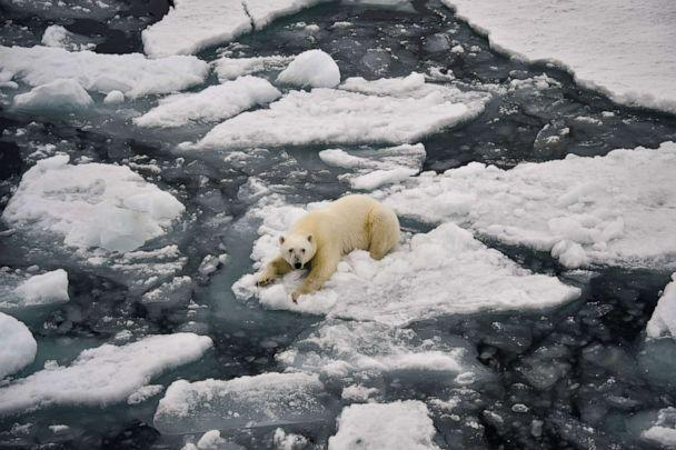 PHOTO: A polar bear on melting pack ice in Essen Bay off the coast of Prince George Land in Russia, August 22, 2021 (Ekaterina Anisimova / AFP via Getty Images)
