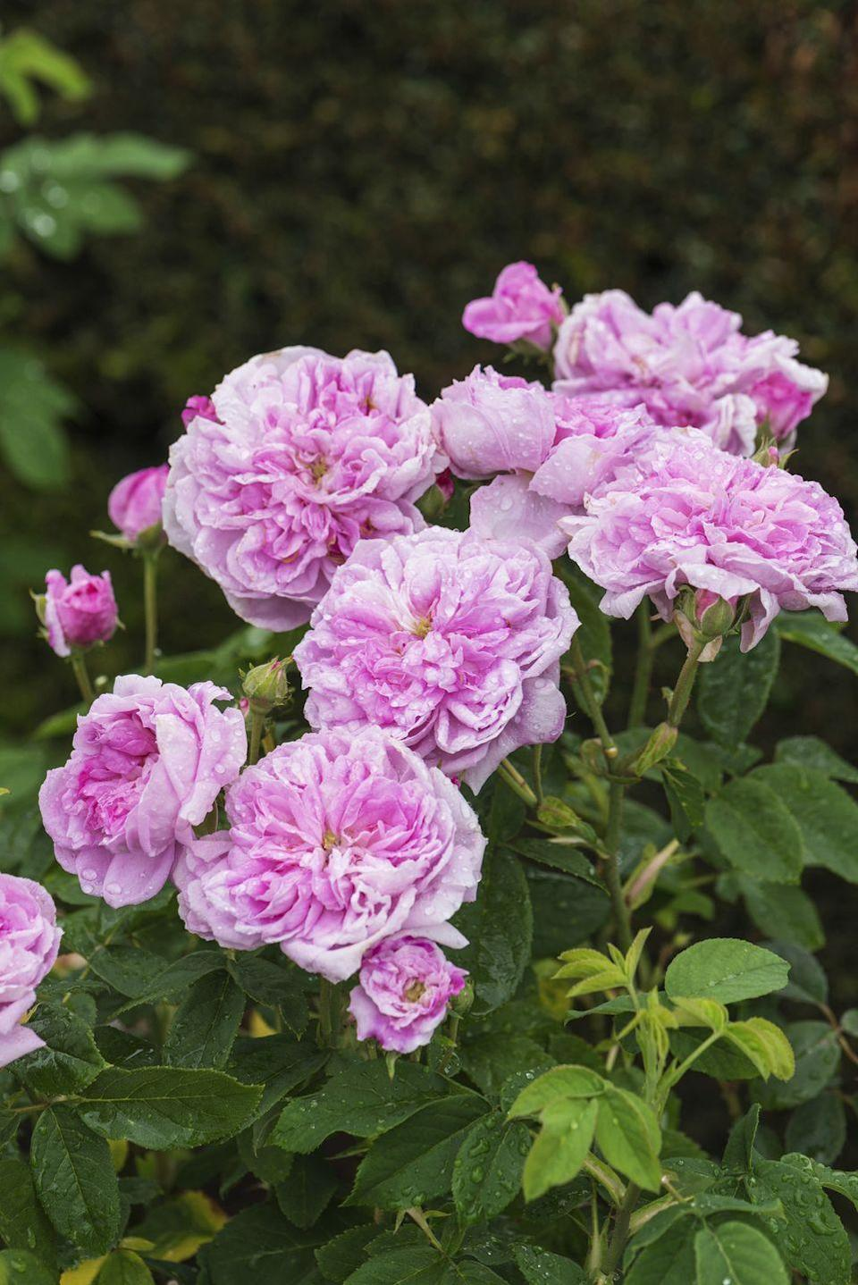 <p>This is a type of damask rose (an old garden rose famous for being used in perfume). It features fragrant, ruffly pink blooms that appear mostly in the summer, with a slight repeat in fall. </p>