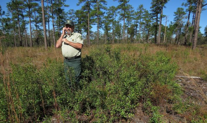 Silviciulturist Keith Coursey stands in a thicket of gallberries -- one of the shrubs that would block the sun from grasses and wildflowers in longleaf pine forests without regular fires -- in front of a stand of 80- to 85-foot-tall longleaf pines in the DeSoto National Forest on Wednesday, Nov. 18, 2020. An intensive effort in nine coastal states from Virginia to Texas is bringing back longleaf pines -- armor-plated trees that bear footlong needles and need regular fires to spark their seedlings' growth and to support wildly diverse grasslands that include carnivorous plants and harbor burrowing tortoises. (AP Photo/Janet McConnaughey)