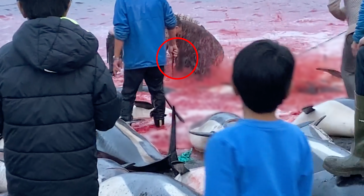 'Stuff of nightmares': Children watch on as 1500 dolphins slaughtered