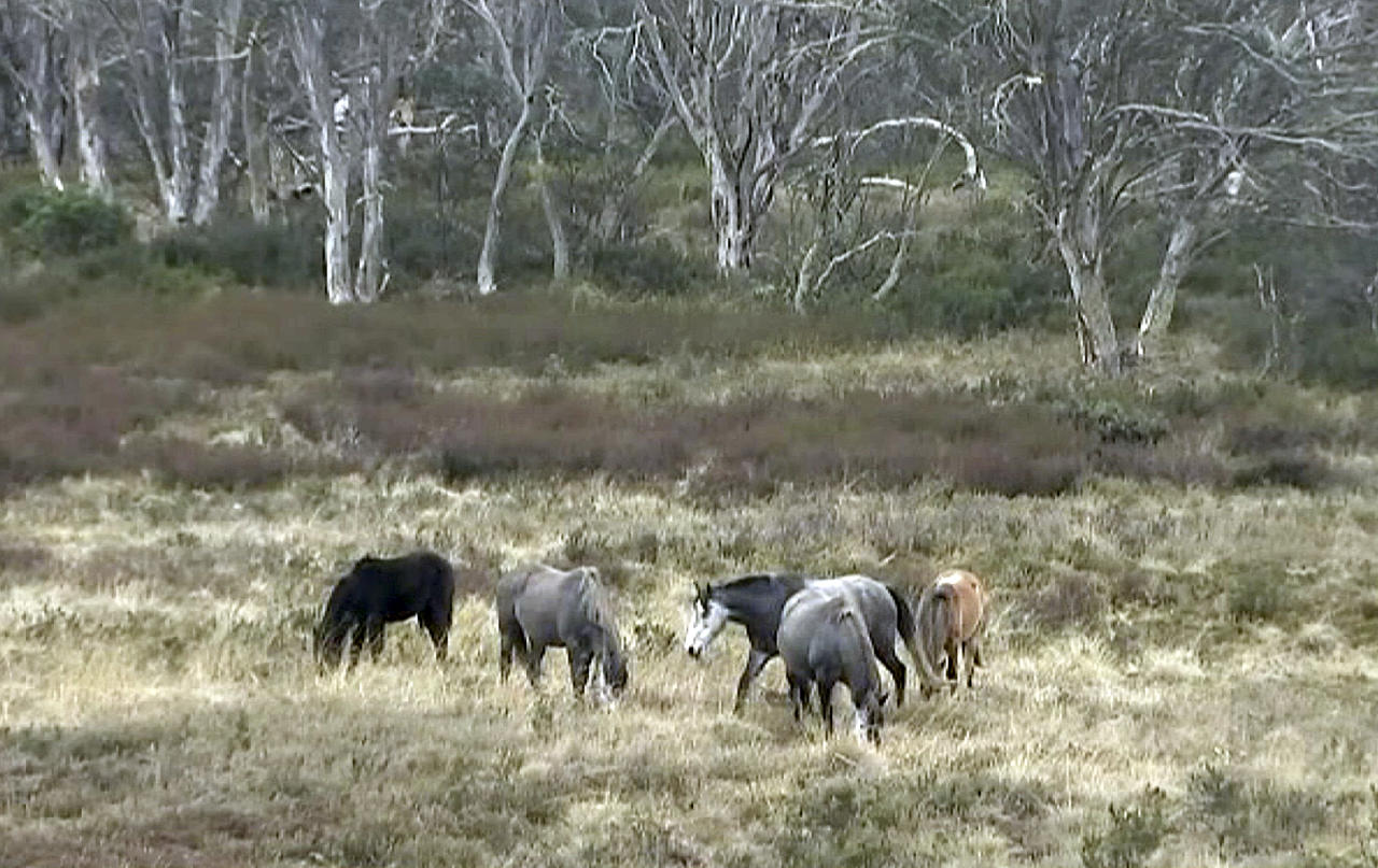 In this image made from video, two wild horses stand in an open field, Sunday, May 20, 2018, Kosciuszko National Park, New South Wales, Australia. An Australian state government has decided to legally protect rather than kill thousands of wild horses, infuriating scientists who argue the feral species is doing severe environmental damage to the country's iconic Snowy Mountains alpine region. (Australian Broadcasting Corporation via AP)