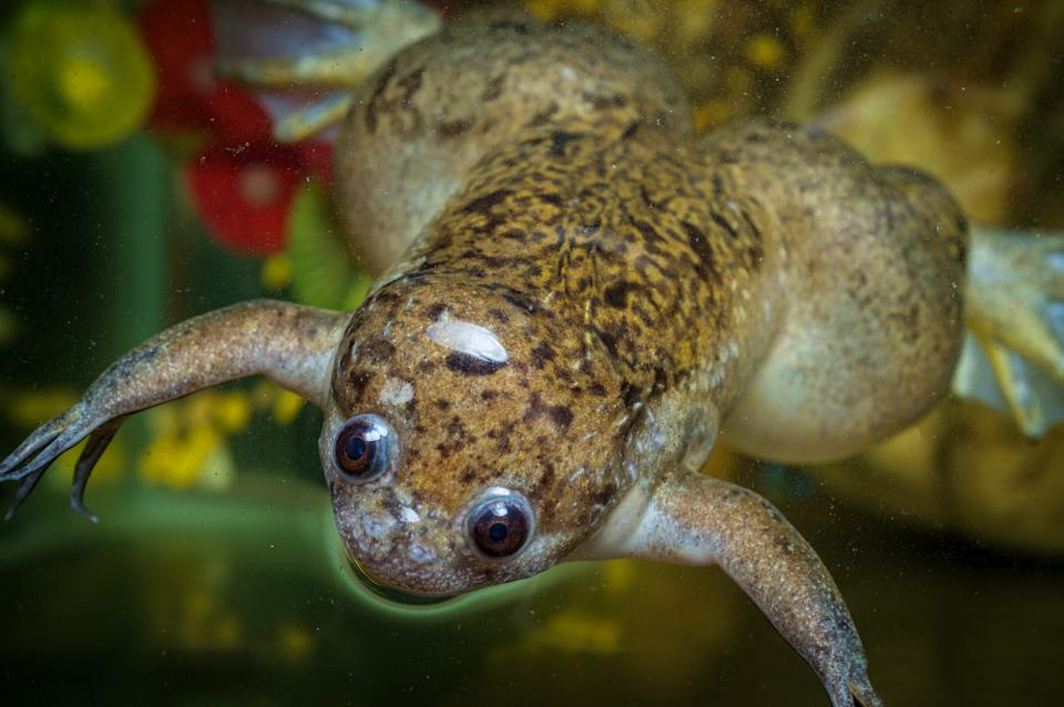 Large adult African clawed frog swimming in dirty water