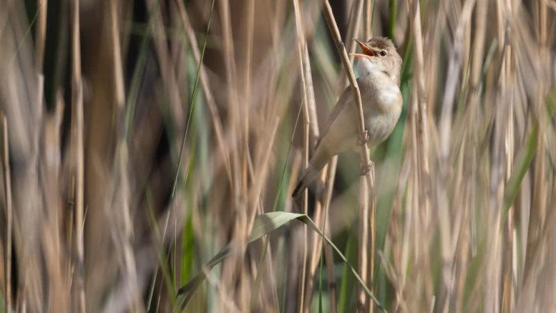 A reed warbler warbling, and maybe unknowingly laying down the guest vocal for a new pop hit.