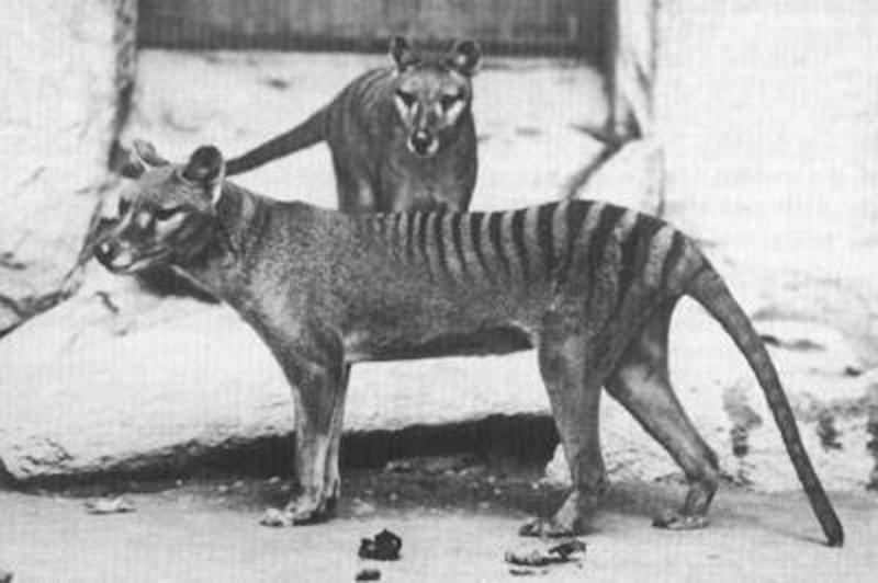 The last known live Tasmanian tiger, or thylacine, died in captivity in 1936