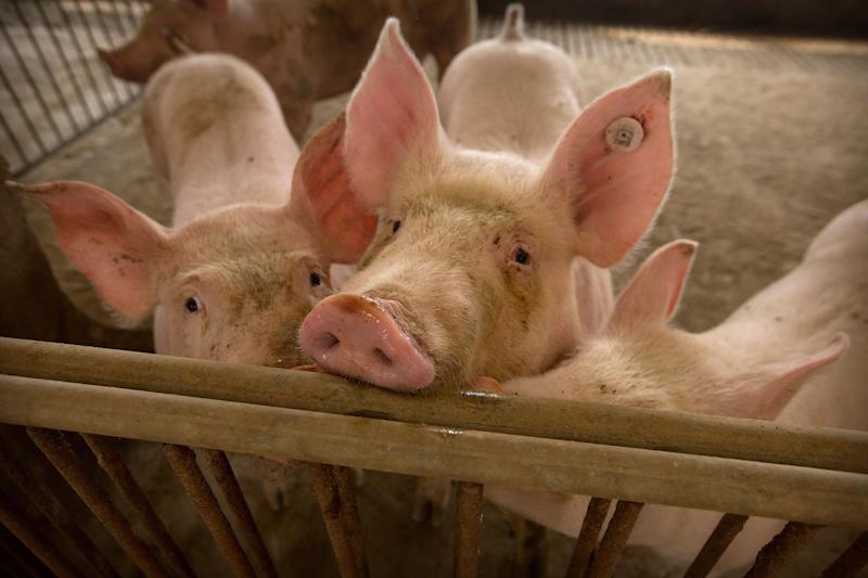 In this May 8, 2019, photo, pigs stand in a barn at a pig farm in Jiangjiaqiao village in northern China's Hebei province. Pork lovers worldwide are wincing at prices that have jumped by up to 40 percent as China's struggle to stamp out African swine fever in its vast pig herds sends shockwaves through global meat markets. (AP Photo/Mark Schiefelbein)