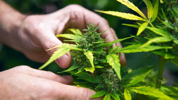 hands touching cannabis leaves