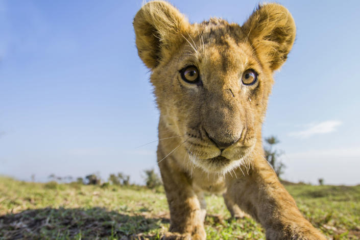 A lion cub checks out a camera trap on plains of Liuwa Plain National Park in Zambia. (Photo: Will Burrard-Lucas/Caters News)