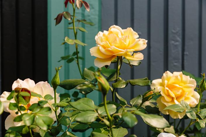 """This punchy yellow rose is called """"Doris Day."""""""