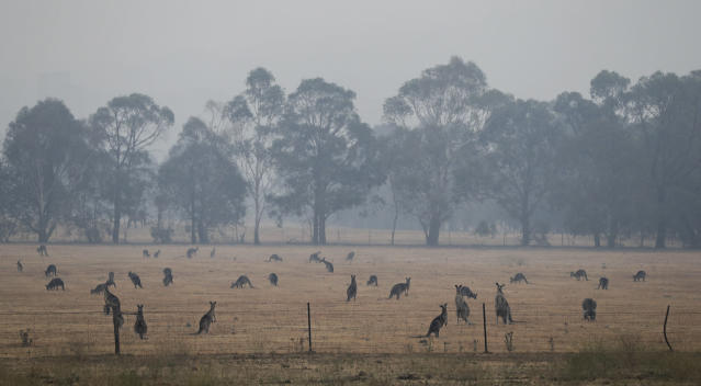 Kangaroos graze in a field as smoke shrouds the Australian capital of Canberra. (AP)