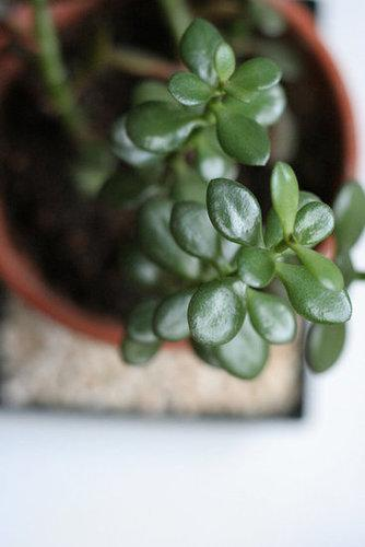 The jade plant (a succulent also known as the friendship tree or lucky plant) can live for decades in the right conditions. It's a native of South Africa, so it's thick, oval-shaped leaves hold on to moisture. A plus: keep an eye out for tiny blooms in pretty pinks or whites.  Source:  Flickr user _overanalyzer