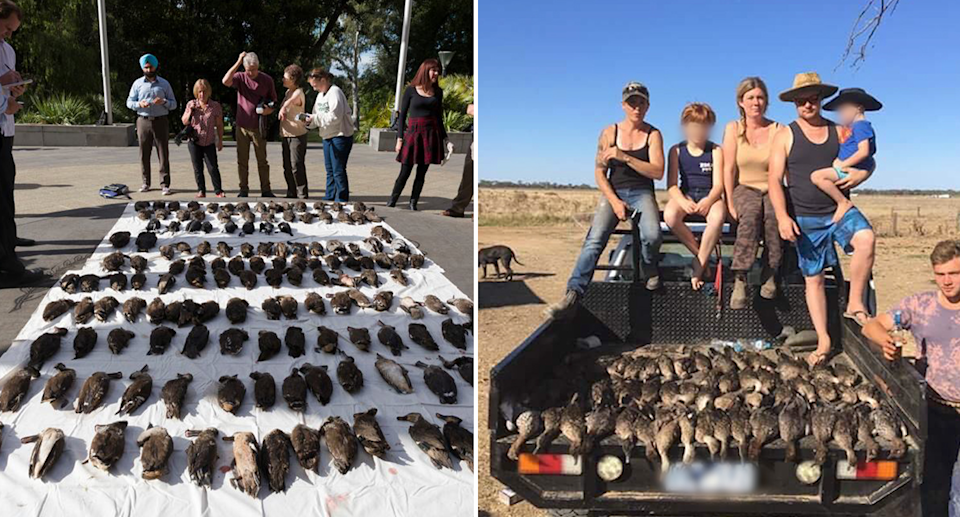 Split screen. Dead waterbirds lay dead on a white sheet. A family sit on the back of a ute displaying dead ducks.