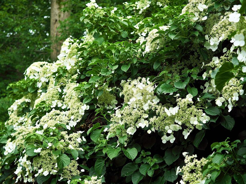 """<p>We know, it sounds too good to be true. We're happy to confirm there is <a href=""""https://www.southernliving.com/garden/flowers/climbing-hydrangea"""" rel=""""nofollow noopener"""" target=""""_blank"""" data-ylk=""""slk:such a thing as climbing hydrangea"""" class=""""link rapid-noclick-resp"""">such a thing as climbing hydrangea</a>—and they're just as beautiful as you're imagining. It's a good choice for extremely sturdy and substantial mailboxes. It is extremely unwise to try and grow one around your post mailbox unless you're looking for a way to take it down. It can tolerate shade better than most flowering vines.</p>"""